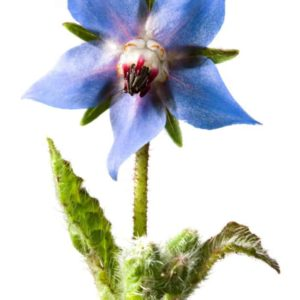 BORAGE SEED EXTRACT