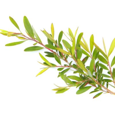 TEA TREE LEAF EXTRACT & OIL